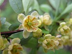 Japanese barberry (photo by Dianne Machesney)